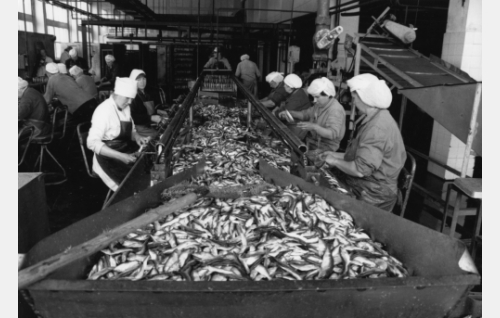 Työntekoa Kolkan kalatehtaalla.