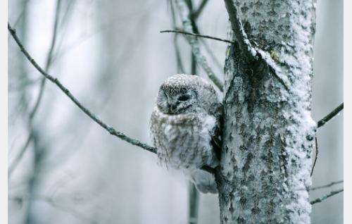 Helmipöllö. Kuva: Hannu Siitonen.