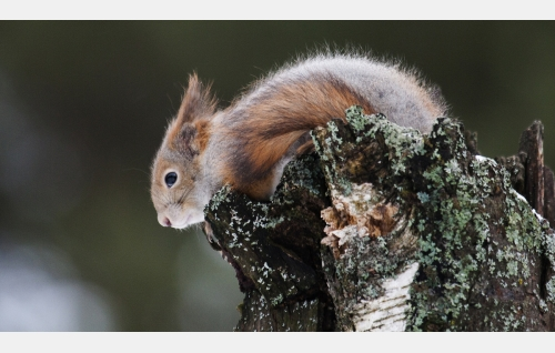 Orava. Kuva: Hannu Siitonen.