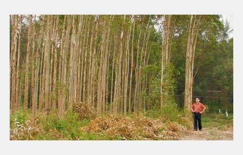 Lakimies Yang Zaixin eukalyptusviljelmillä. Kuva: Luxian Production Oy.